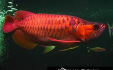 Cá rồng đỏ sẽ mang lại sự may mắn và thịnh vượng cho gia chủ