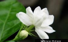 Giải mã các bí ẩn giấc mơ thấy bông hoa nhài