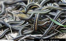 Giải mã các bí ẩn giấc mơ thấy có nhiều rắn