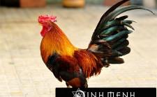 Giải mã các bí ẩn giấc mơ thấy con gà trống đang gáy