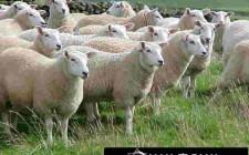 Giải mã các bí ẩn giấc mơ thấy hình ảnh con cừu