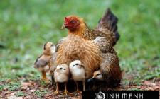 Giải mộng giấc mơ nhìn thấy gà mẹ đang ấp con