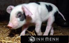 Giải mộng giấc mơ nhìn thấy lợn