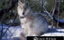 Khám phá ý nghĩa giấc mơ thấy Chó sói - ngủ nằm mơ thấy Người sói