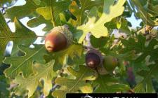 Khám phá ý nghĩa giấc mơ thấy cây sồi - nằm ngủ mơ thấy trái sồi
