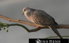 Khám phá ý nghĩa giấc mơ thấy chim Cu - ngủ nằm mơ thấy con Cu gáy