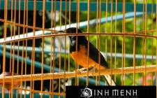 Khám phá ý nghĩa giấc mơ thấy chim Họa mi - ngủ nằm mơ thấy Họa mi