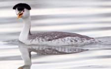 Khám phá ý nghĩa giấc mơ thấy chim Lặn - ngủ nằm mơ thấy chim Lặn