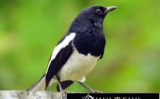 Khám phá ý nghĩa giấc mơ thấy chim Nhại - ngủ nằm mơ thấy con Nhại