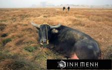 Khám phá ý nghĩa giấc mơ thấy gia súc - ngủ nằm mơ thấy đàn gia súc