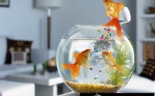 Nuôi cá vàng để kích hoạt vận may