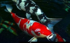 Biểu tượng cá trong Phong Thuỷ