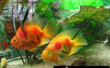 Cách dùng bể cá để tăng vận đào hoa