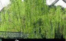 Cây liễu có thích hợp khi trồng trước cửa nhà?