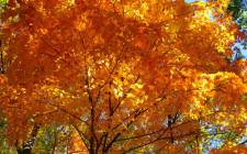 Mơ thấy cây phong: Gia đình hòa thuận, tình yêu tốt đẹp