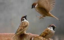 Mơ thấy chim sẻ: Cơ thể khỏe mạnh, mùa màng bội thu