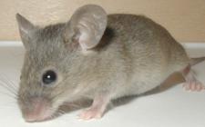Mơ thấy chuột: Sợ bơ vơ khốn khổ và mất cảm giác an toàn