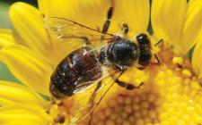 Mơ thấy con ong: Chuỗi ngày tốt đẹp sẽ đến