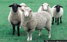 Mơ thấy cừu: Giàu có và hạnh phúc