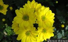 Mơ thấy hoa cúc: Tượng trưng hy vọng và thu hoạch