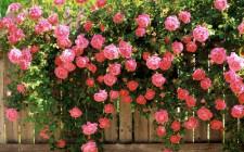 Mơ thấy hoa hồng: Tình yêu sẽ có kết quả tốt đẹp
