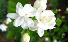 Mơ thấy hoa nhài: Sẽ có tình yêu dịu ngọt