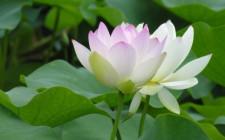 Mơ thấy hoa sen: Tượng trưng cuộc sống giới tính của con người