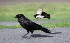 Mơ thấy quạ đen: Điềm báo xấu