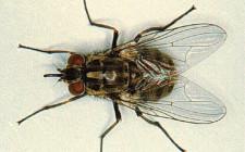 Mơ thấy ruồi nhặng: Có kẻ thù quấy nhiều