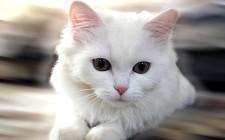 Những chú ý khi nuôi mèo trong phong thủy