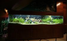 Tại sao cá vàng lại được gọi là cá phong thuỷ?