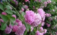 Ý nghĩa phong thủy của hoa Nguyệt Quý