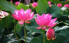 Ý nghĩa phong thủy hoa sen