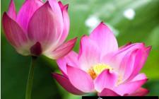 Giải mã các bí ẩn giấc mơ thấy bông hoa sen