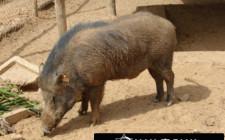 Giải mộng giấc mơ nhìn thấy lợn rừng