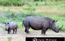 Khám phá ý nghĩa giấc mơ thấy Tê giác - ngủ nằm mơ thấy con Tê giác