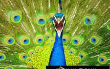 Khám phá ý nghĩa giấc mơ thấy chim Công - ngủ nằm mơ thấy con Công