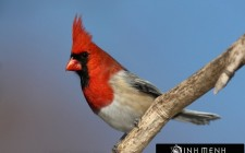 Khám phá ý nghĩa giấc mơ thấy chim Hồng y - ngủ nằm mơ thấy chim Hồng y