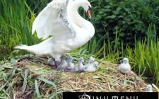 Khám phá ý nghĩa giấc mơ thấy chim Thiên Nga - ngủ nằm mơ thấy con Thiên Nga