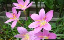 Loài hoa nào đem lại may mắn