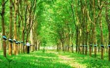 Mơ thấy cây cao su: Kế hoạch sẽ thành công