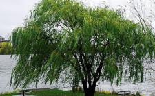 Mơ thấy cây liễu: Cẩn trọng trong cách xử sự