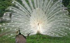 Mơ thấy chim công: Tin vui đến
