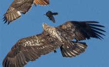 Mơ thấy chim ưng săn mồi: Thỏa mãn nguyện vọng bằng trí tuệ và mưu lược