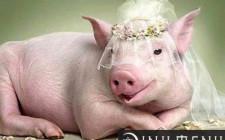 Mơ thấy lợn: Sự nghiệp hưng thịnh, sinh khí tràn trề