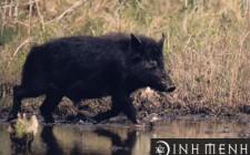Mơ thấy lợn rừng đực: Một phần nội tâm của bạn đang ra sức thừa nhận, và những gì có liên quan đến giới tính
