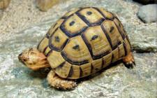 Mơ thấy rùa: Tượng trưng cho trường thọ