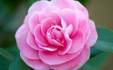 Ý nghĩa phong thủy hoa Phù Dung